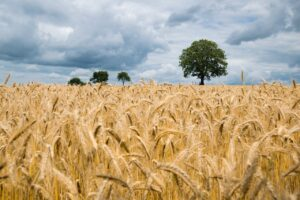 agriculture, barley, cereal