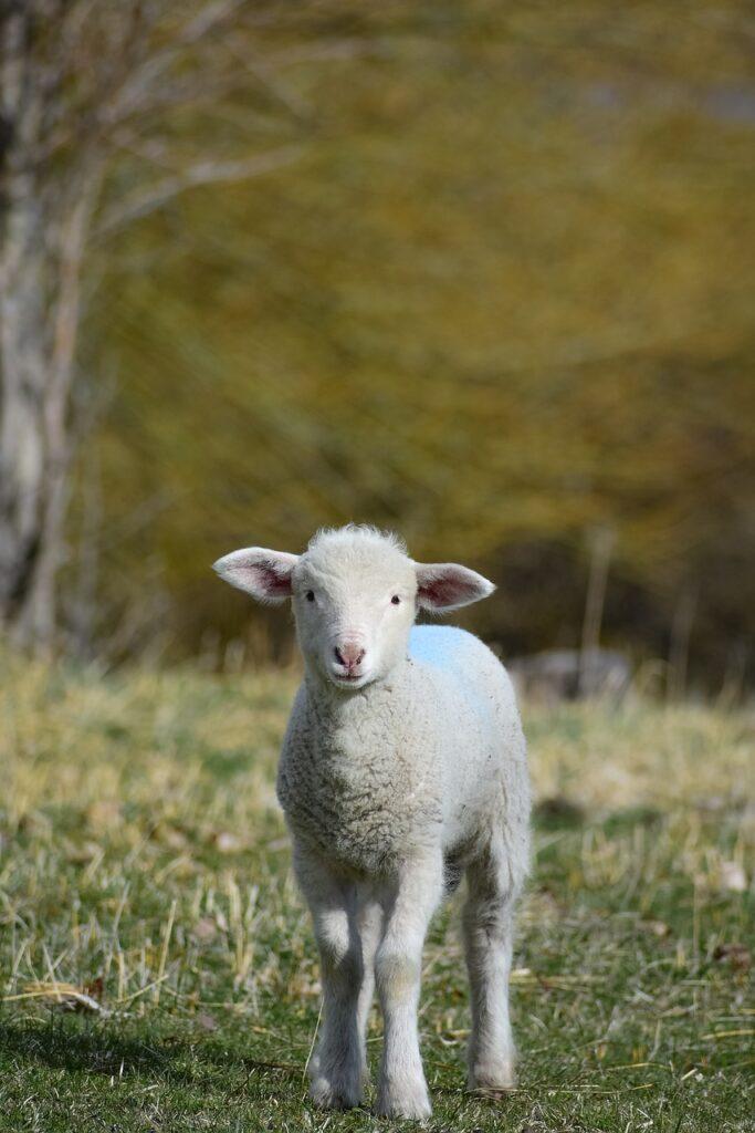lamb, animal, sheep