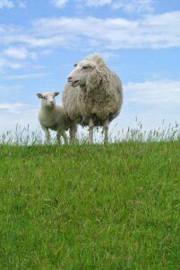 sheep, lamb, texelschaf