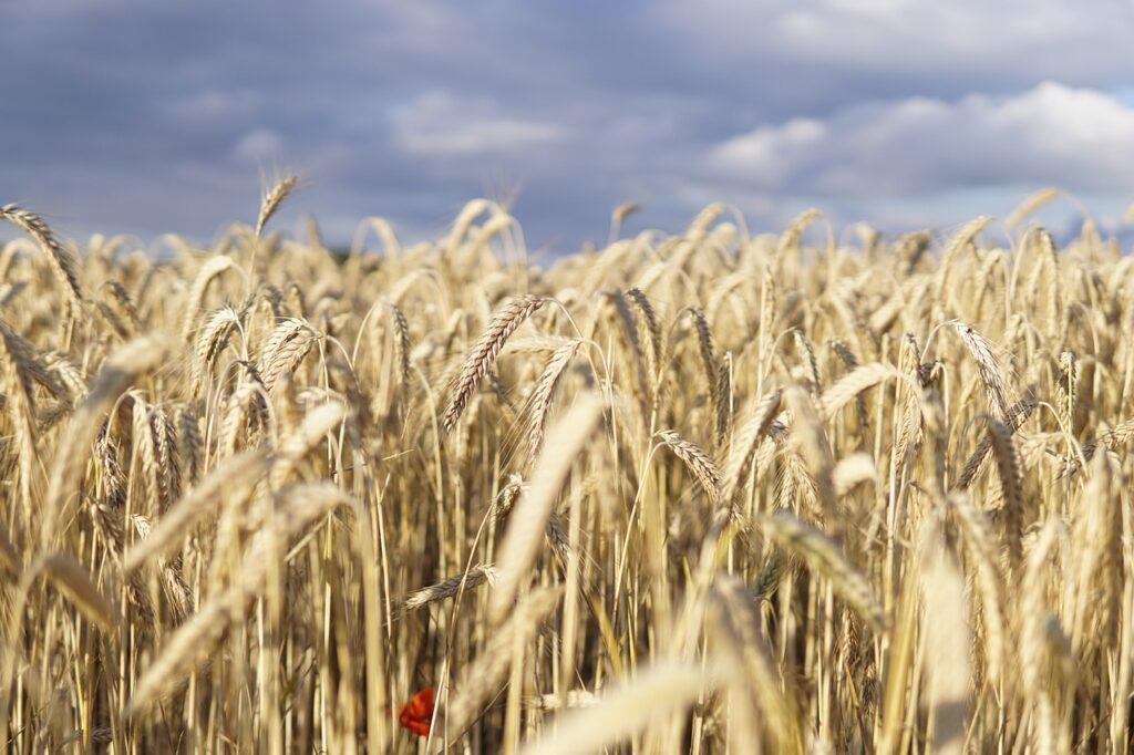 wheat field, wheat, field